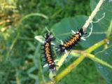 Caterpillars of the Milkweed Tussock Moth