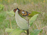 Tagged Monarch butterfly on milkweed pod