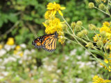 Monarch butterfly on yellow wildflower