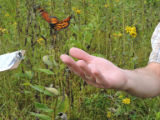 Monarch butterfly flies from hand