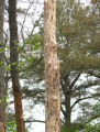 Close-up of tree affected by Southern Pine Beetles