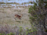 Sika elk running through the Wildlife Loop