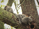 Delmarva Peninsula fox squirrels in tree cavity nest