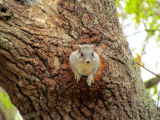 Delmarva Peninsula fox squirrel in tree cavity nest