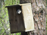 Delmarva Peninsula fox squirrel napping in nest box