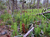 Loblolly pine tree saplings