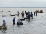 Refuge staff and volunteers and The Nature Conservancy volunteers bring blocks to build oyster...