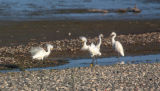 Snowy Egrets on shore