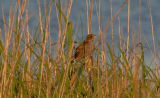 Seaside Sparrow in grasses