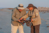 Biologist shows visitor horseshoe crab on beach