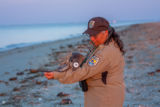 Biologist examines tagged horseshoe crab on beach
