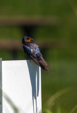 Barn Swallow  perched on sign