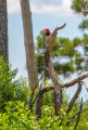 Red-headed woodpecker on dead snag