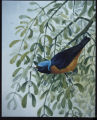 Blue-hooded Euphonia