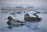 Mallard and  Black Duck
