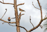 Pair of Southeastern American Kestrels perched in a pine tree
