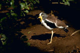 White-crowned Plover