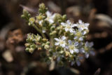 Ash Meadows ivesia