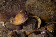 Asiatic clam