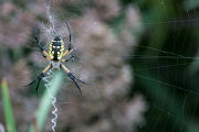 Black and yellow garden spider on web