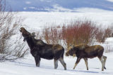 Female Moose and calf in snow