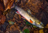 Brook Trout from Seneca Creek