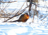 Ring-necked Pheasant in the snow