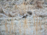 Bobcat spotted at Mingo National Wildlife Refuge