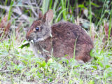Marsh rabbit chewing leaves