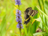 Palamedes Swallowtail on a wildflower