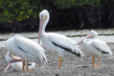 White Pelicans at Shell Key Flats
