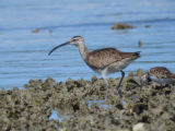 Whimbrel at Welk Island shoal