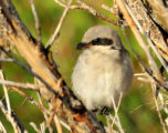 Juvenille loggerhead shrike was perched near refuge headquarters on Seedskadee NWR