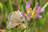 Silvery blue butterfly feeding on standing milkvetch