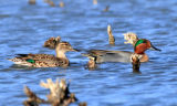 Green Winged Teal pair at  Seedskadee National Wildlife Refuge