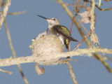 Anna's Hummingbird and young at nest