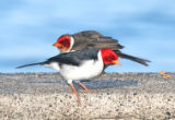 Yellow-billed Cardinal with juvenile
