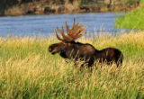 Bull moose eating Coyote Willow on Seedskadee National Wildlife Refuge