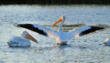 American white pelican with outstretched wings