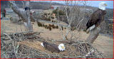 NCTC eaglecam close-up view of Bald Eagles