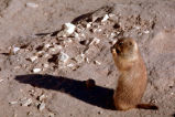 Black-tailed prairie dog standing