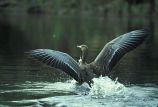 White-fronted Goose Landing on Water