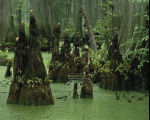 Bald cypress knees rising from swamp water