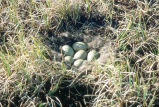 Spectacled Eider Nest