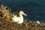 Short-tailed Albatross on Nest