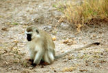 Vervet Monkey                            (Green)