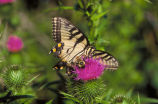 Swallowtail Butterfly & Bee on thistle