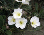 Antioch Dunes Evening Primrose