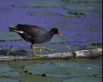 Common Moorhen at Squaw Creek National Wildlife Refuge