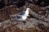 Glaucous-winged Gulls